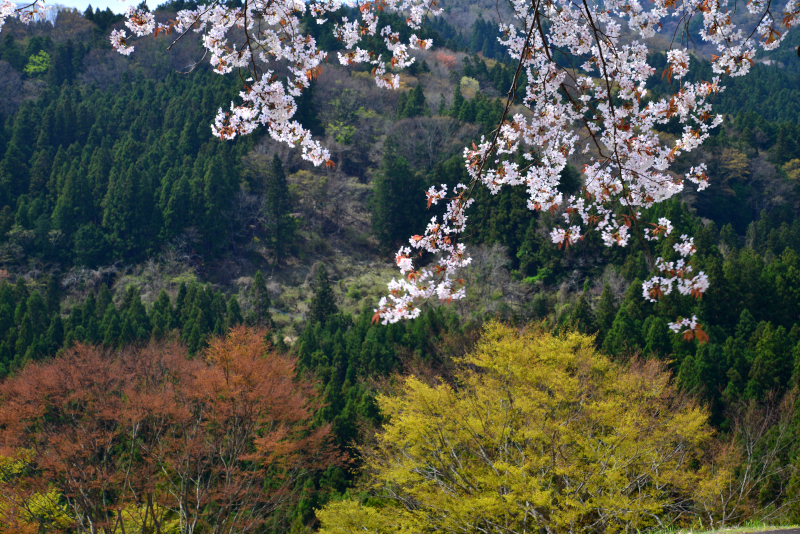 「新緑と山桜」 (徳島県木屋平)