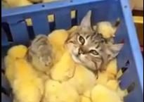 cat+seaofchicks