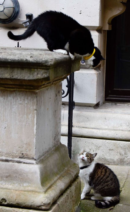 PAY-Palmerston-the-Foreign-office-cat-blackwhite-and-Larry-the-No10-cat-ongoing-fight-this-morning-2