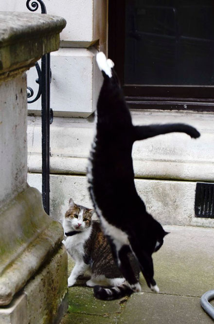 PAY-Palmerston-the-Foreign-office-cat-blackwhite-and-Larry-the-No10-cat-ongoing-fight-this-morning-3