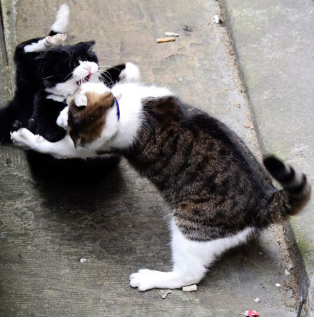 PAY-Palmerston-the-Foreign-office-cat-blackwhite-and-Larry-the-No10-cat-ongoing-fight-this-morning-4