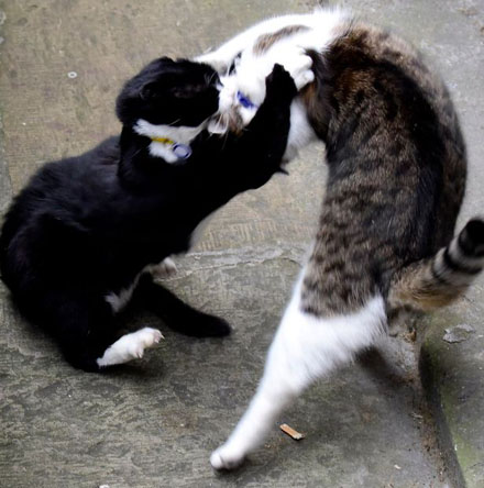 PAY-Palmerston-the-Foreign-office-cat-blackwhite-and-Larry-the-No10-cat-ongoing-fight-this-morning-5