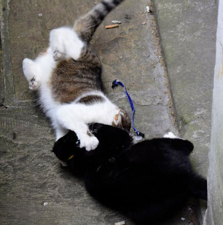PAY-Palmerston-the-Foreign-office-cat-blackwhite-and-Larry-the-No10-cat-ongoing-fight-this-morning-6