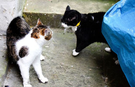 PAY-Palmerston-the-Foreign-office-cat-blackwhite-and-Larry-the-No10-cat-ongoing-fight-this-morning-8