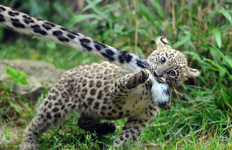 leopards-bitting-tail-11-1
