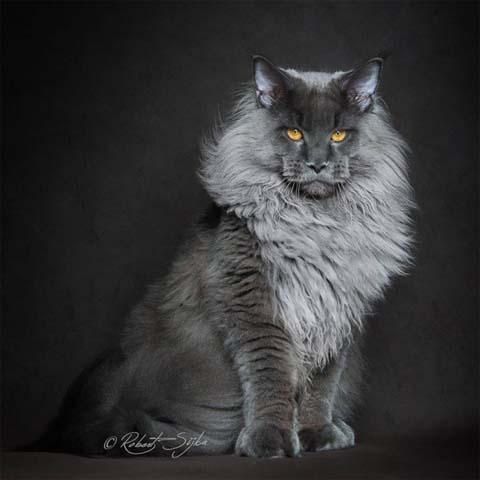 maine-coon-cat-photography-robert-sijka-67-57ad952ba9cac__880
