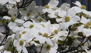 ハナミズキが咲いている