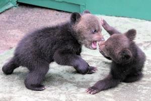 じゃれ合う小熊