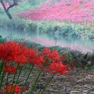 秋雨と彼岸花