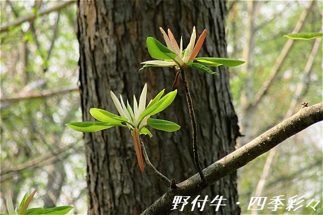 s-C20160520-ホオノキ新芽-0