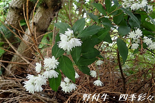 s-O20160720-サラサウツギ(白花)-0