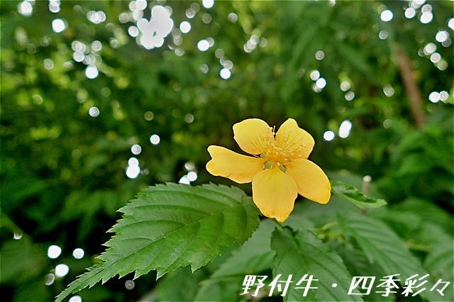 s-O20160728-ヤマブキ-0
