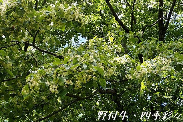 s-O20160810-シナノキ-0