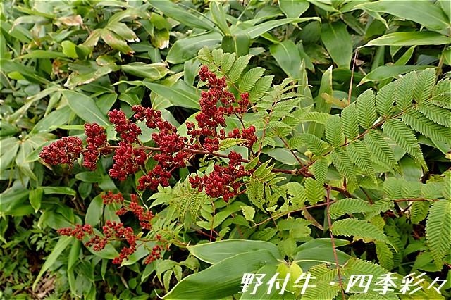 s-O0160827-ホザキナナカマド-0