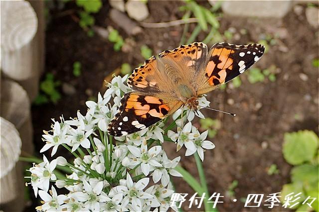 s-O20160914-ヒメアカタテハ-0