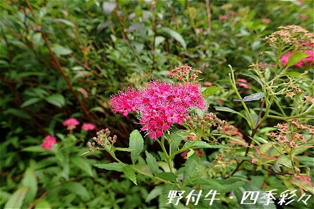 s-O20160918-シモツケ-July