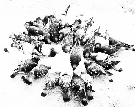鳩 烏合の衆 釣り