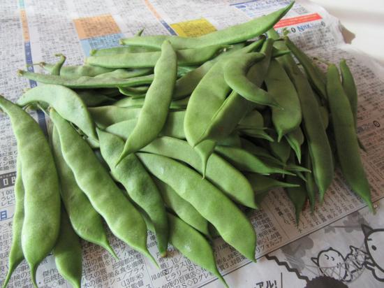 モロッコ豆2016秋
