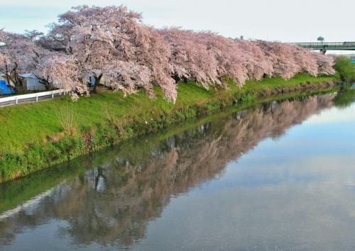 IMG_5175 清州桜1