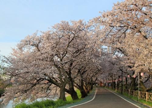 IMG_5177 清州桜 2