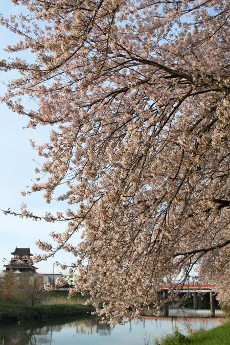 IMG_5180 清州桜 3