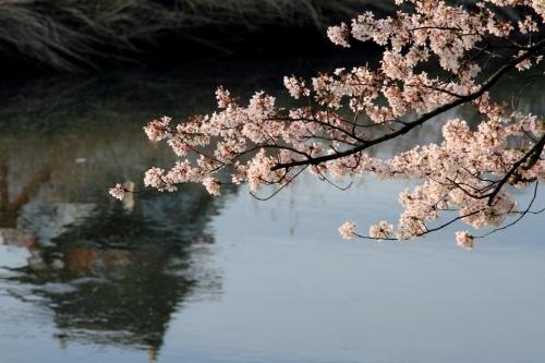 IMG_5237  清州桜 6