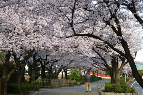 IMG_5273  清州桜 13