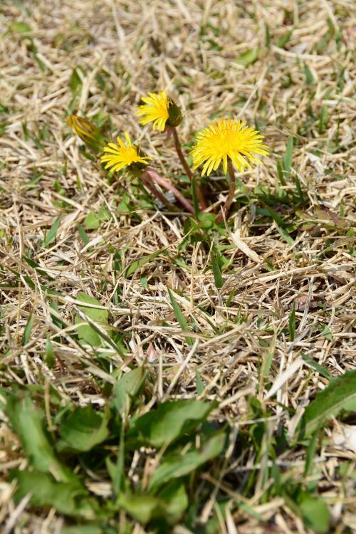 芝生手入れ0501_芝生とタンポポ