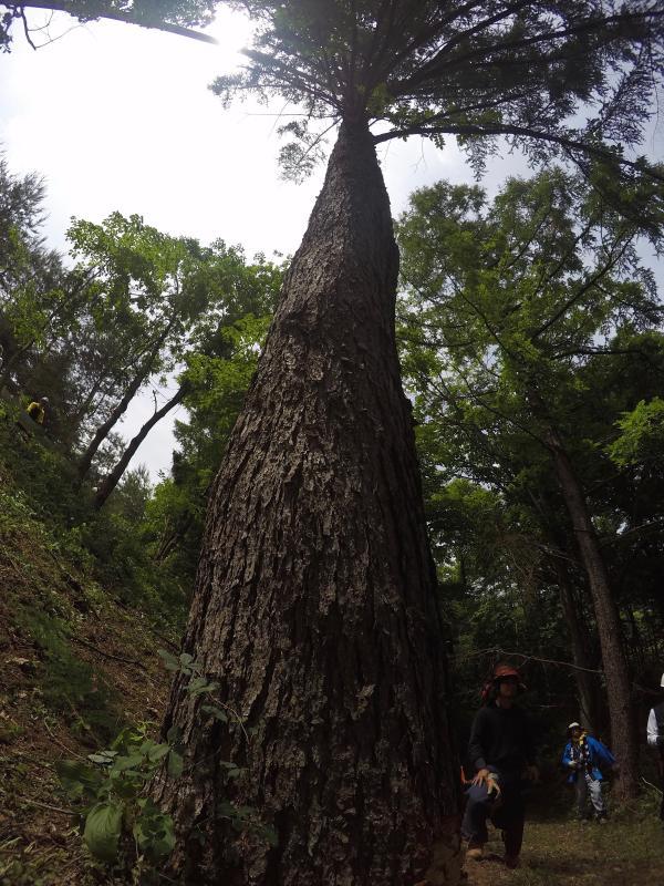 御柱伐採0611_御神木の姿