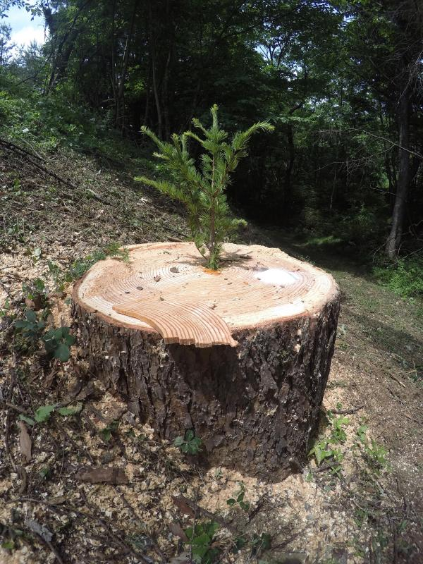 御柱伐採0611_伐採後の切り株
