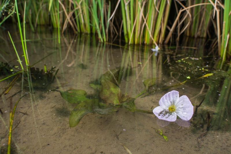 ミズオオバコ Ottelia alismoides