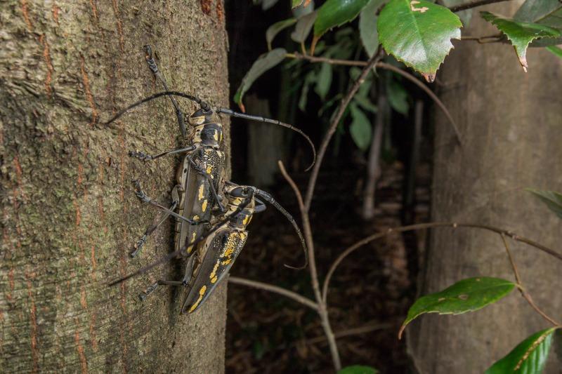 シロスジカミキリ Batocera lineolata