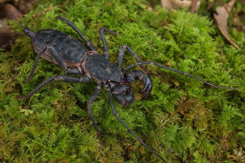 アマミサソリモドキ Typopeltis stimpsonii