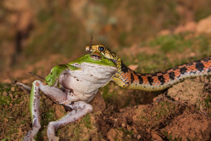 ヤマカガシ Rhabdophis tigrinus
