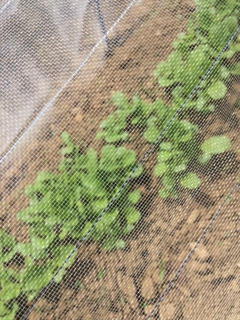 0415ミニ白菜