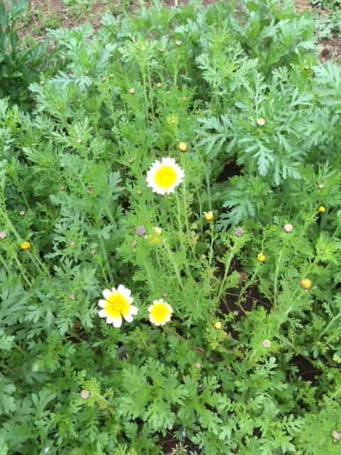 0425春菊の花