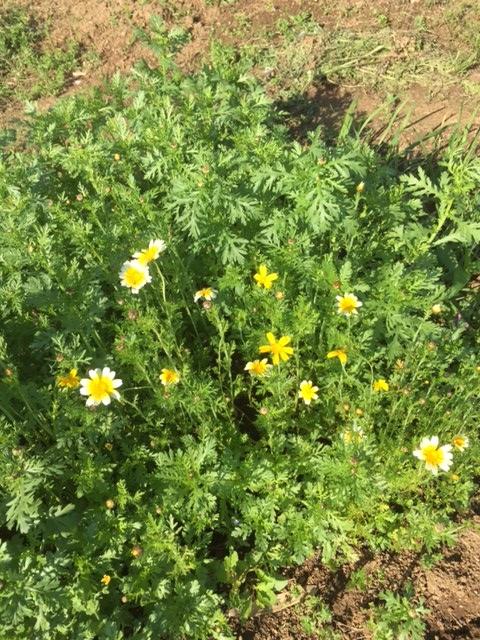 0429春菊の花