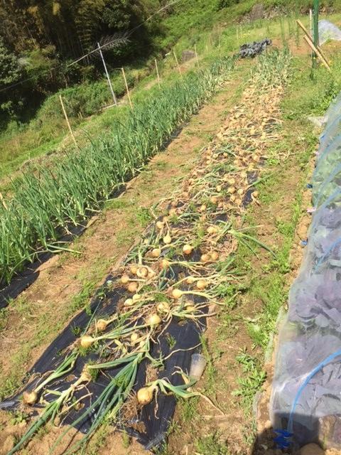0430玉ねぎ収穫