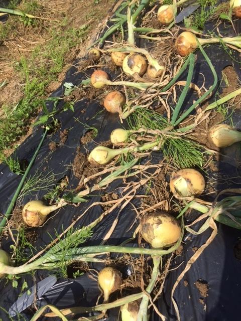 0430玉ねぎ収穫2