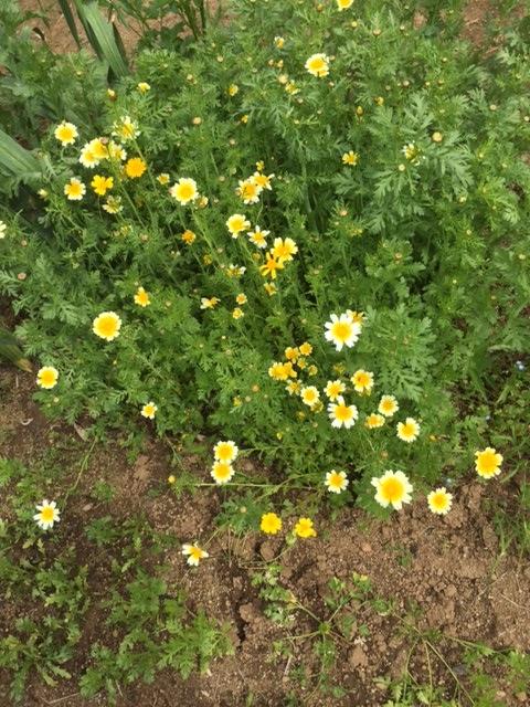 0505春菊
