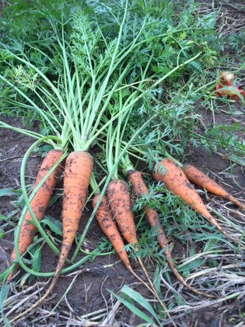 0712収穫1