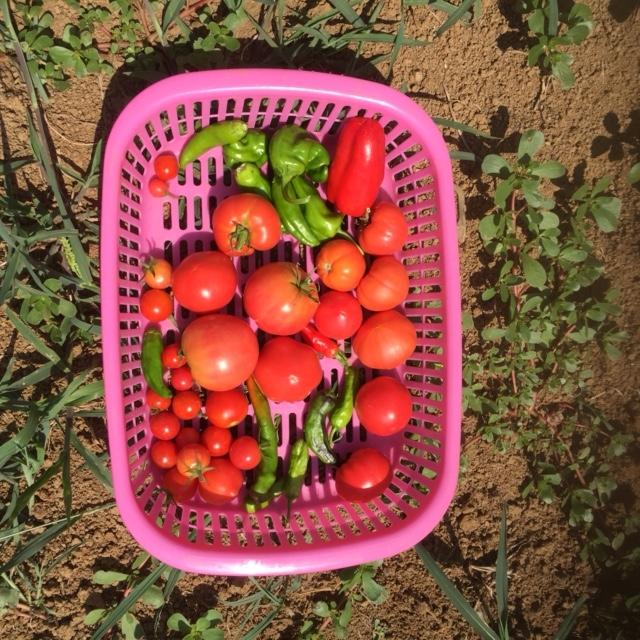 0822収穫