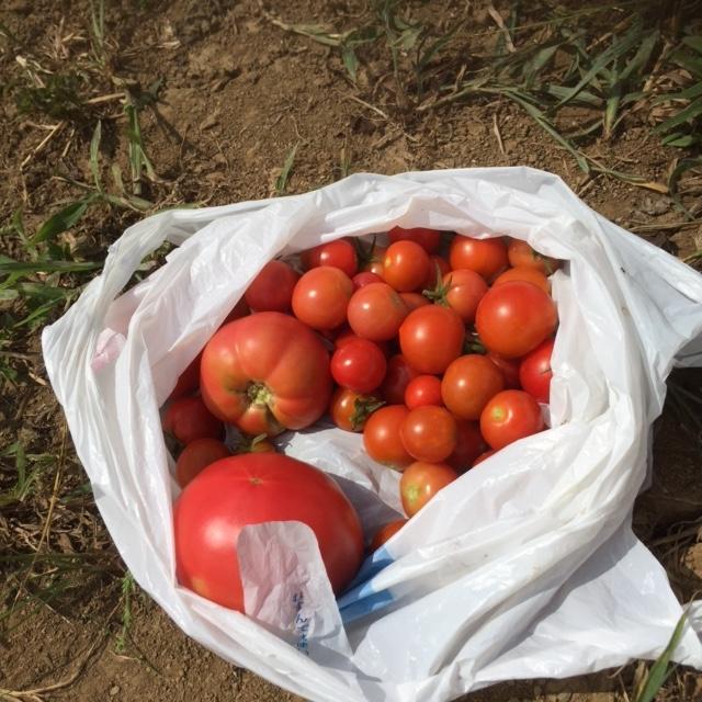 0827収穫1