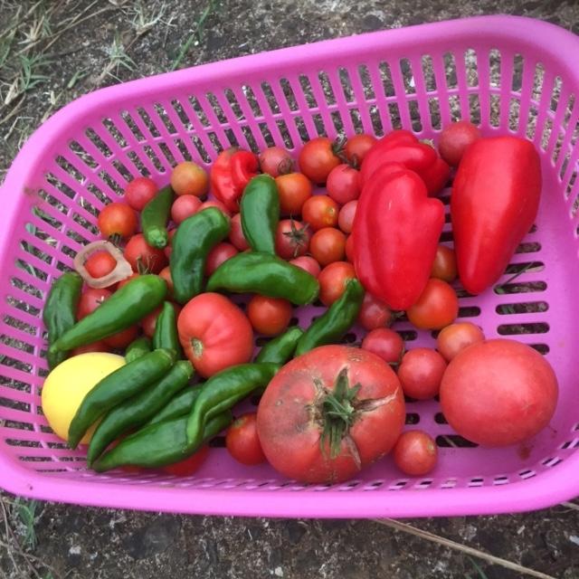 0911F収穫