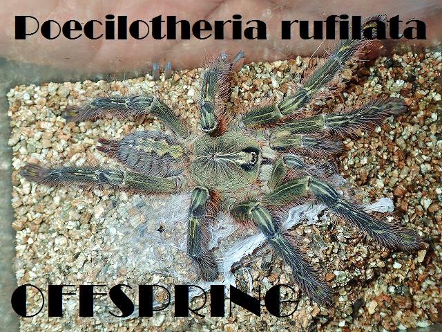 Poecilotheria rufilata2014eu00033