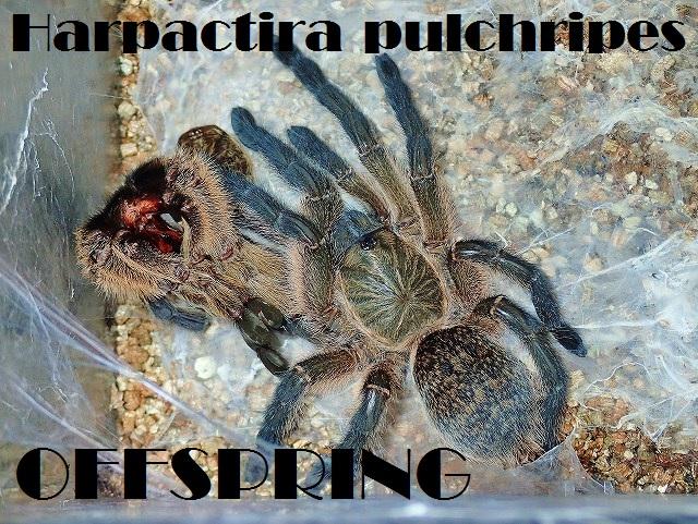 Harpactira pulchripes2015eu01