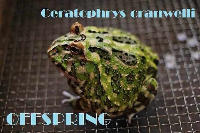 Ceratophrys cranwelli0156