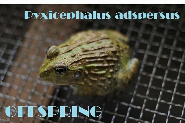 Pyxicephalus adspersus011696