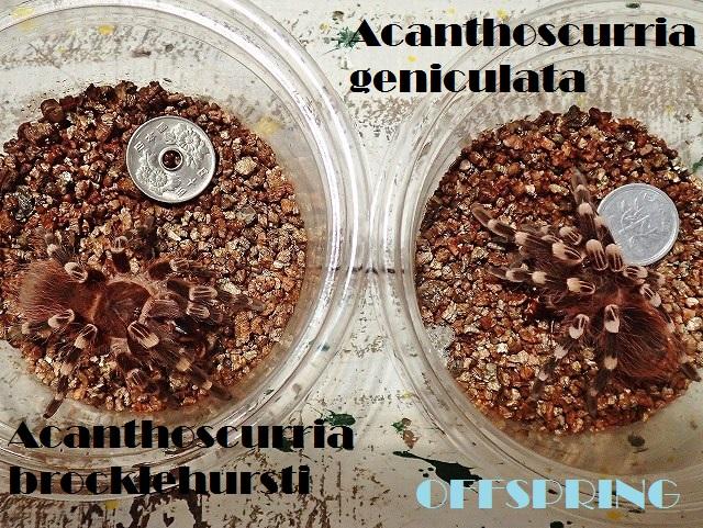 Acanthoscurria001.jpg