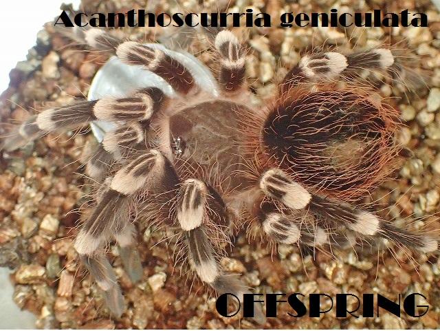 Acanthoscurria003.jpg